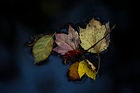 Dead leaves.  ©Karen Bobotas Photographer