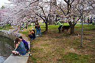 Washington, DC, USA — March 30, 2019. People celebrate the arrival of spring and the annual Cherry Blossom Festival in Washington, DC.