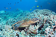 green sea turtle, Chelonia mydas ( Threatened Species ), resting on coral reef, surrounded by finger coral, Porites compressa, Puako, Kona, Hawaii ( Central Pacific Ocean )