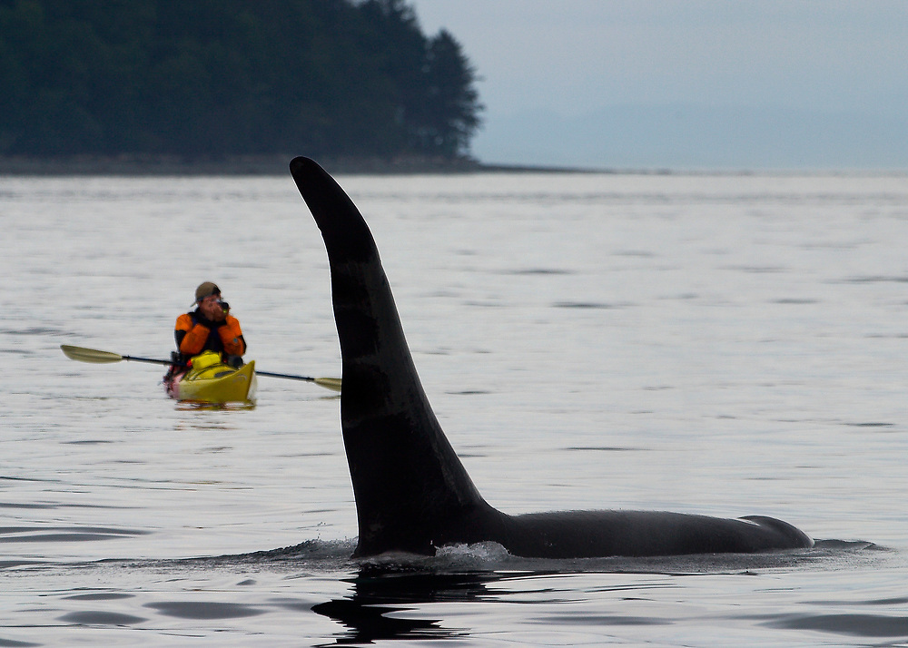 Alaska. SE. Inside Passage. An Orca whale (Grampus orcinus) in the waters of the Inside Passage with a sea kayaker looking on.