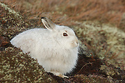 Mountain hare, Lepus timidus, on moorland in winter coat, Strathdearn, Inverness-shire, Highland.<br /> animal; animals; mammal; mammals; nature; wildlife; adult;<br /> look; looking; watch; watching; alert; white; brown; cold;<br /> season; seasons; winter; one; single; l
