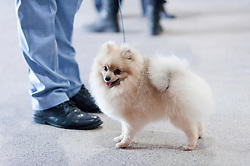 © Licensed to London News Pictures. 18/08/2017. Llanelwedd, Powys, UK. A Pomeranian waits for judging on the first day of The Welsh Kennel Club Dog Show, held at the Royal Welsh Showground, Llanelwedd in Powys, Wales, UK. Photo credit: Graham M. Lawrence/LNP