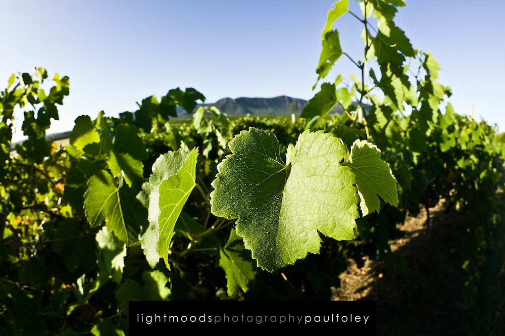 Vines ready for harvest, Hunter Valley Wine Country, NSW, Australia.