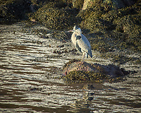Grey Heron in Alesund, Norway. Image taken with a Nikon D2xs camera and 80-400 mm VR lens (ISO 200, 400 mm, f/6.7, 1/180 sec).