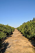 Israel, Sharon district, Citrus Grove clementine plot pruned trees after harvest several fruit are left on the tree
