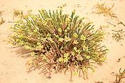 Sea Spurge, Euphorbia paralias, Euphorbiaceae flowering in sand dunes ,La Graciosa island, Lanzarote, Canary Islands, Spain