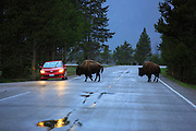 Bison on road in Yellowstone National Park