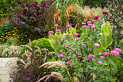 Zinnia 'Benary's Giant Lilac' growing with Pennisetum setaceum 'Rubrum' and Canna 'Striata' in the High Garden at Great Dixter