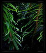 sword ferns (Polystichum munitum) fronds leaflets