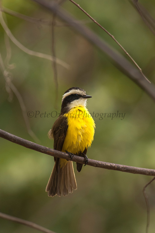 Rusty-margined Flycatcher (Myiozetetes cayanensis)<br /> mid Orinoco River, 110 Km north of Puerto Ayacucho. Apure Province, VENEZUELA. South America. <br /> HABITAT & RANGE: Subtropical or tropical moist lowland forests and heavily degraded former forest. Northern and central South America in Bolivia, Brazil, Colombia, Ecuador, French Guiana, Guyana, Peru, Suriname, and Venezuela; also eastern Panama.