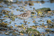 A tiny least sandpiper feeds along the shore of Round Cove in Harwich.