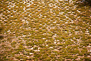 Moss, a pioneer plant able to grow on bare rock, growing on a building roof showing the first stage in soil formation.