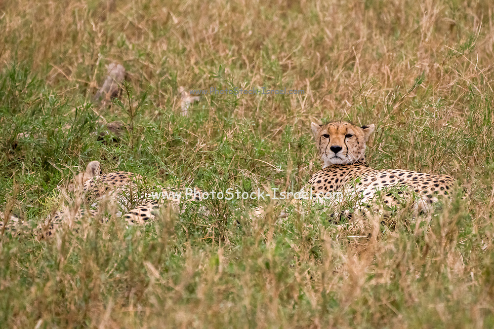 Cheetahs resting and panting in the grass. Photographed at Serengeti National Park, Tanzania