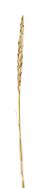 Lyme-grass - Leymus arenarius