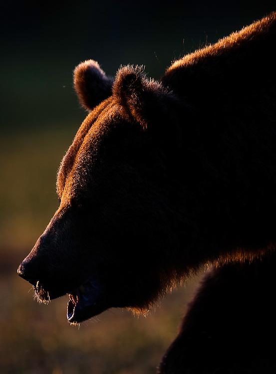 European brown bear (Ursos arctos) Kuhmo, Finland.