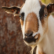 20170607 Peters Goats