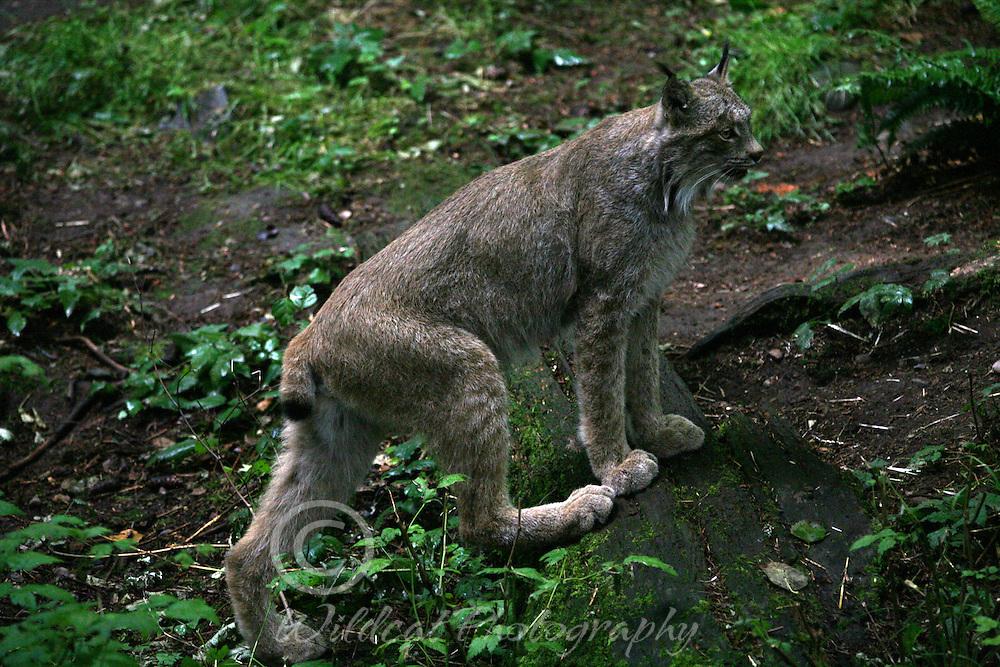 Lynx just checking around