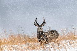 100% chance of snow, a mule deer buck is oblivious to it, this is his world.  Swan Valley Idaho