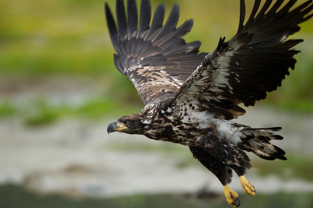 USA, Alaska, Katmai National Park, Immature Bald Eagle  (Haliaeetus leucocephalus) taking flight along salmon stream near Kukak Bay