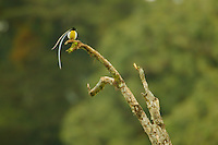 King of Saxony Bird of Paradise (Pteridophora alberti).adult male at calling perch above the canopy