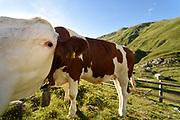 Alpine transhumance (Jagdhausalm) in the Defereggen Valley. High Tauern National Park (Nationalpark Hohe Tauern), Central Eastern Alps, Austria | Jagdhausalm am Ende des Osttiroler Defereggentals. Nationalpark Hohe Tauern, Osttirol in Österreich