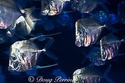 lookdown, Selene sp., probably Selene brevoortii or Selene peruviana (captive), Monterey Bay Aquarium ( Baja Mexico exhibit ), Monterey, California, United States ( Eastern Pacific Ocean )