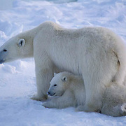 Polar Bear, (Ursus maritimus) Portrait of mother and cub waiting for Hudson Bay to freeze. Manitoba. Canada.