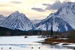 """Grizzly sow 610 and cubs beneath the Grand Tetons in Grand Teton National Park.<br /> <br /> For production prints or stock photos click the Purchase Print/License Photo Button in upper Right; for Fine Art """"Custom Prints"""" contact Daryl - 208-709-3250 or dh@greater-yellowstone.com"""