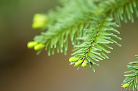 Late springtime in the Cascade Mountains means new growth and a flurry of activity as winter finally recedes. This western hemlock is putting out not only new growth with new needles, bit small cones will soon follow to produce further generations of this majestic tree.