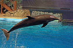 14 May 2013:   Dolphin Show. This animal is a captive animal and well cared for by a zoo. Note:  This image available for EDITORIAL USE ONLY.  A release may be required.  Additional information by contacting alook at alanlook.com