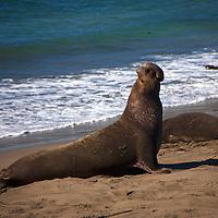 USA, California, San Luis Obispo. Elephant Seal Colony at Piedras Blancas.