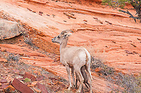 A close-up of a desert bighorn ewe with nursing lamb in Zion National Park in Southern Utah. I was hiking through the hills when in the early evening I came upon a large group of about thirty individuals, including other rams, ewes, and lambs. It took me an hour to get this close for this shot.