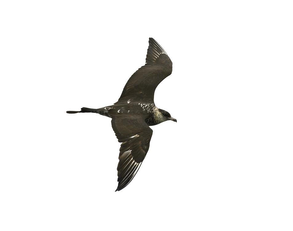 Pomarine Skua - Stercorarius pomarinus