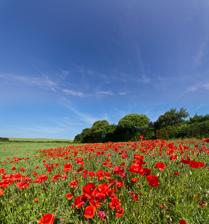 Field of wild poppy flowers on the Isle of Wight