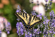 A Western Tiger Swallowtail (Papilio rutulus) sitting on a Lavender flower in a Fraser Valley garden.  A Western Tiger Swallowtails are one of the common species of butterfly in the southwestern corner of British Columbia, Canada.  The adult Western Tiger Swallowtails are Nectarivores, feeding on nectar from flowers only.  The immature caterpillars feed on plant leaves - mostly cottonwood and birch but including willows and wild cherry.