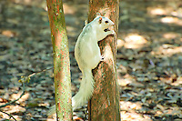 These white fox squirrels can be infrequently seen in the Big Bend area of the Florida panhandle.