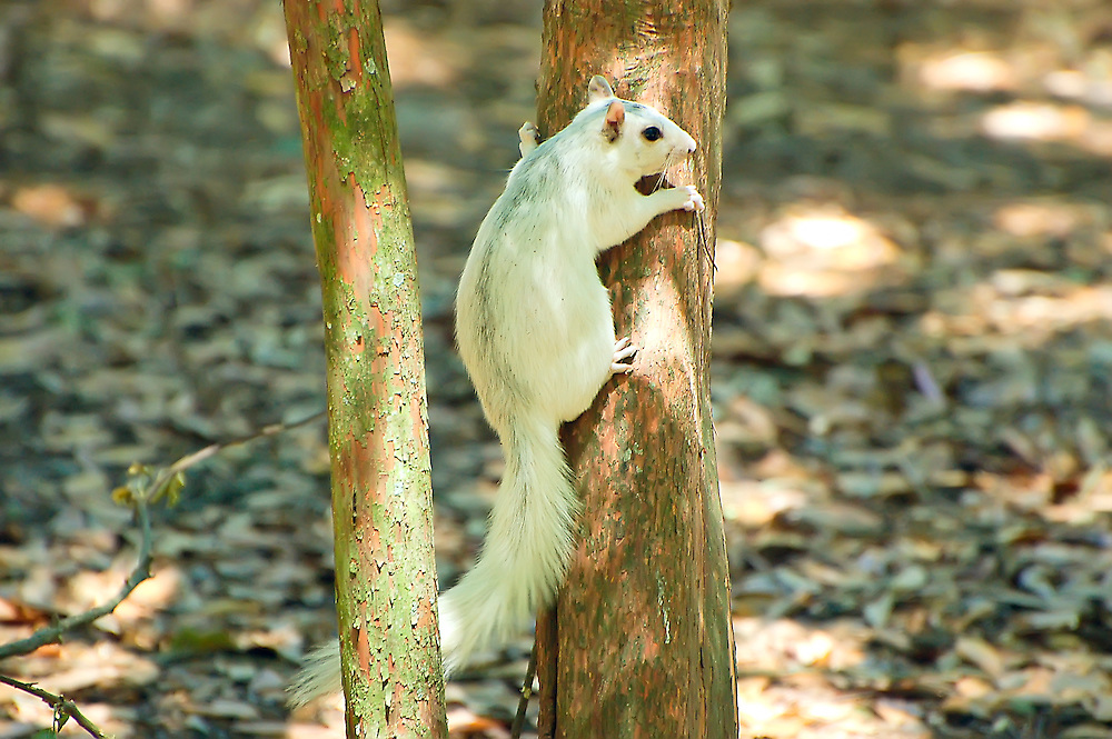 """These white fox squirrels can be infrequently seen in the Big Bend area of the Florida panhandle. This image has been published in the books, """"Mammals of Florida"""" and """"Mammals of Georgia"""" - both fantastic field guides by Stan Tekiela."""