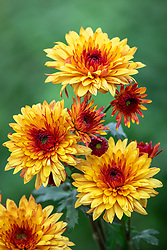 Chrysanthemum 'Pip Sunny'