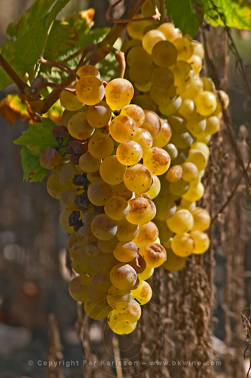 Some Chasselas in the vineyard - planted long ago. - Chateau La Grave Figeac, Saint Emilion, Bordeaux