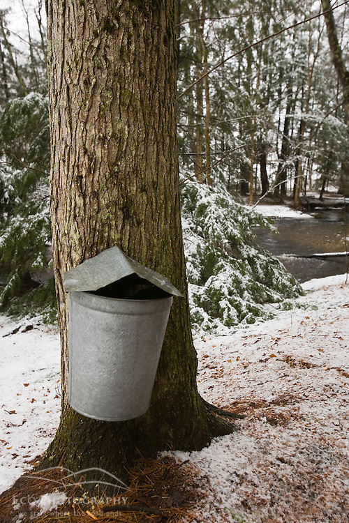 A sap bucket hangs on a maple tree during maple syrup season in Barrington, New Hampshire.