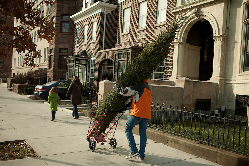 A man wheels a tall Christmas tree down Prospect Park West, heading home from the greenmarket in Brooklyn's Grand Army Plaza.