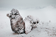 A Bactrian Camel dusted with snow, chilling out after a 3 day snow storm.
