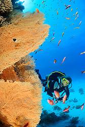 Annella mollis (Syn: Subergorgia mollis oder Subergorgia hicksoni ), Korallenriff mit Riesen Gorgonienfaecher und Taucher unter wasser, Coral reef with Giant Sea Fan, Gorgonian and Scuba diver, under water, Safaga, Rotes Meer, Ägytpen, Red Sea, Egypt
