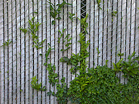 laurel and fence