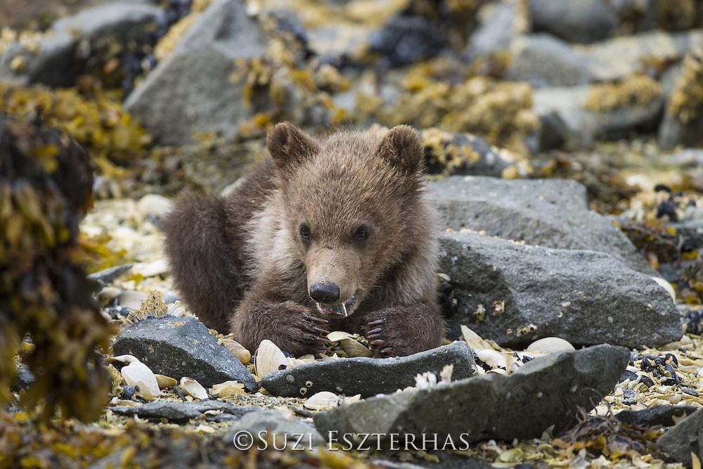 Brown Bear<br /> Ursus arctos <br /> 3-4 month old cub with clam<br /> Katmai National Park, AK