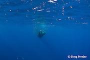 Bryde's whale, Balaenoptera brydei or Balaenoptera edeni, feeding on baitball of sardines, Sardinops sagax, off Baja California, Mexico ( Eastern Pacific Ocean ) #2 in series of 7