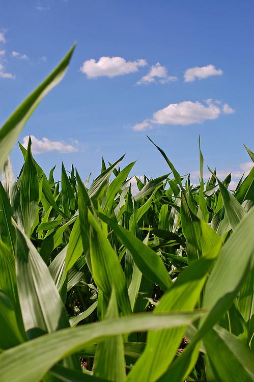 A beautiful day in a Kansas cornfield..