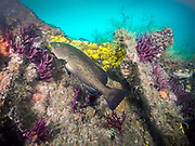 Gag Grouper on Caribsea Shipwreck in North Carolina, USA