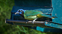 Green Jay on a Blue Green Feeder. Dos Vandas Ranch in Southern Texas. Image taken with a Nikon D4 camera and 500 mm f/4 VR lens (ISO 500, 500 mm, f/5.6, 1/1000 sec).