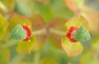 (Euphorbia dendroides) Wolfs bane spurge<br /> Dehesa forests with Pyrenean oak (Quercus pyrenaica)  and Holm oak (Quercus ilex) in Campanarios de Azába nature reserve, Salamanca Region, Castilla y León, Spain